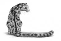 Clouded Leopard(1)