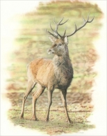 Red-Deer-Stag